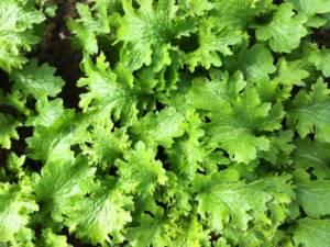 tokita prodotti babby leaf