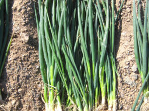 tokita-prodotti-bunching onion