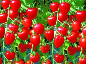 tokita-prodotti-cherry tomato